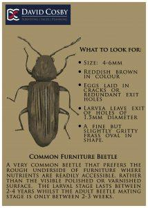 Common_Furniture_Beetle_